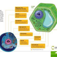 Animal Vs Plant Cell Diagram Simple 3d Origami Graphic Cells Pinterest Teacher