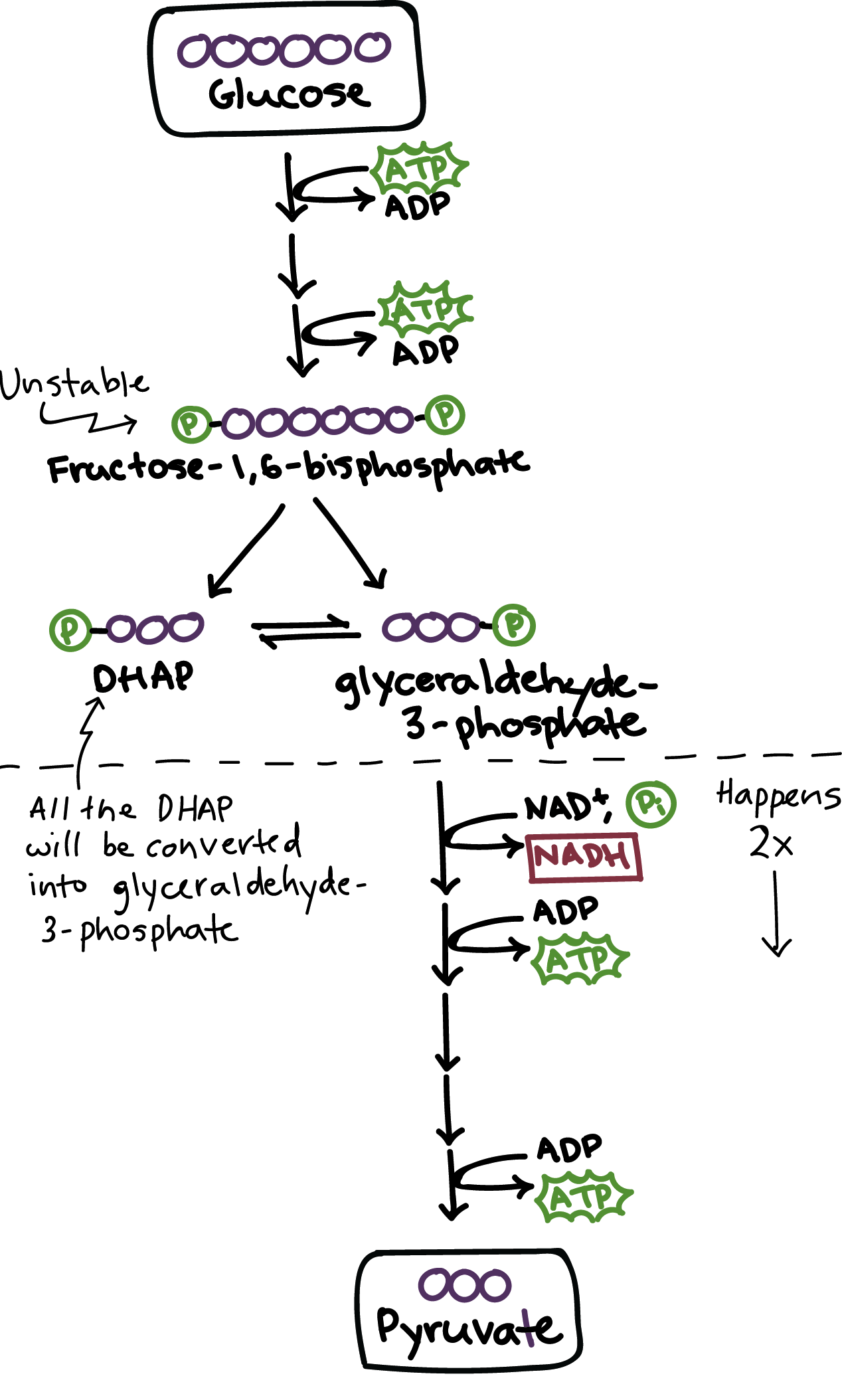 Overview Of The Basics Of Glycolysis