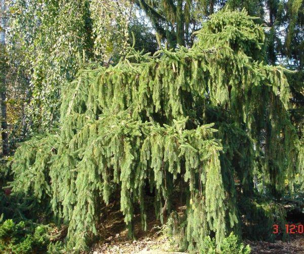 giant ornamental specimen trees