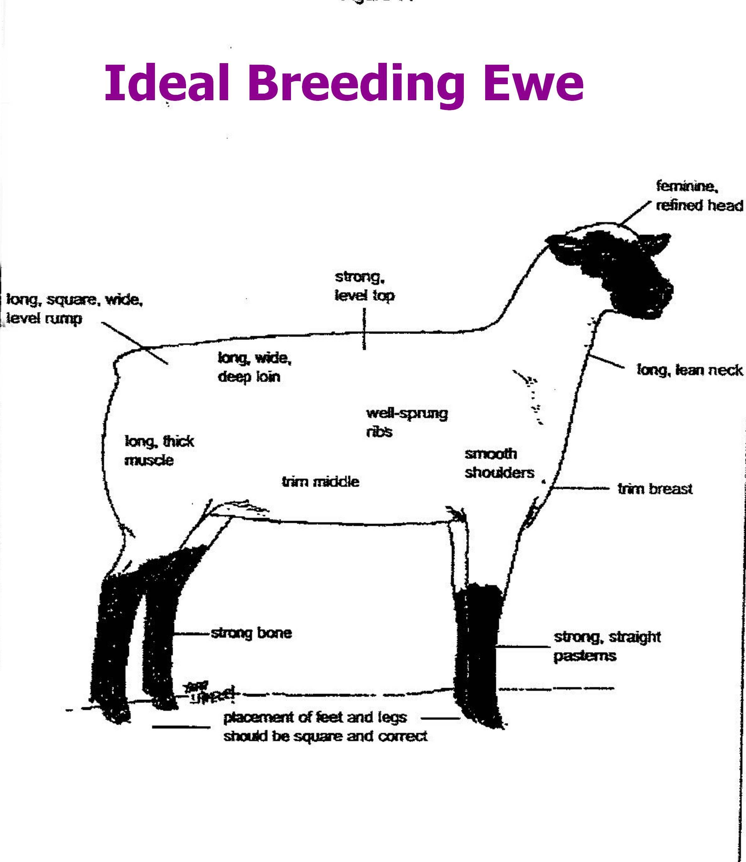 Y Agripedia Agmania Breeds Sheepdp