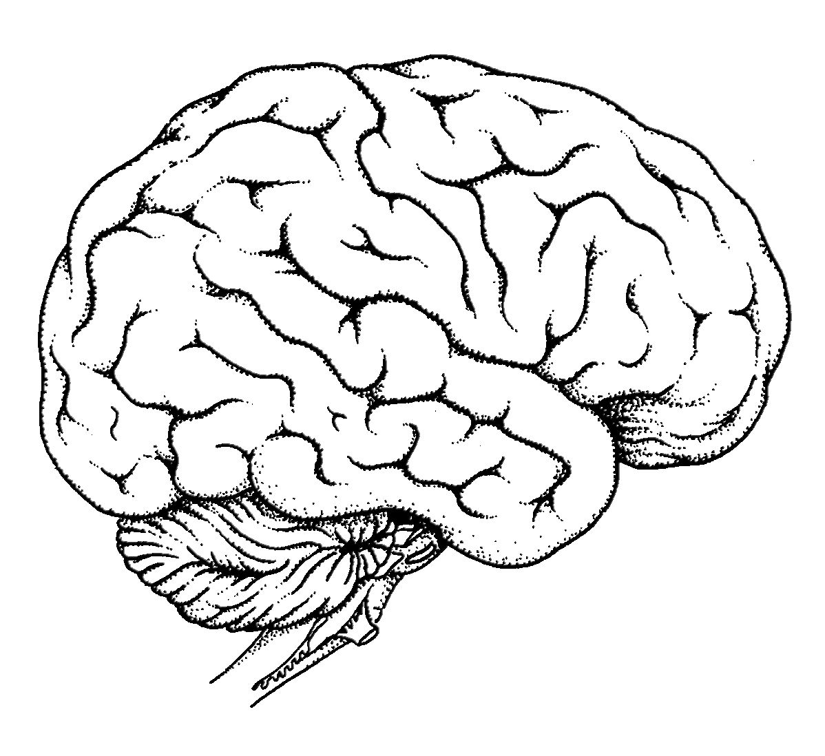 Diagram Of Human Brain