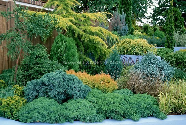 Pacific Northwest Garden Juniper Shrub Winter Google Search