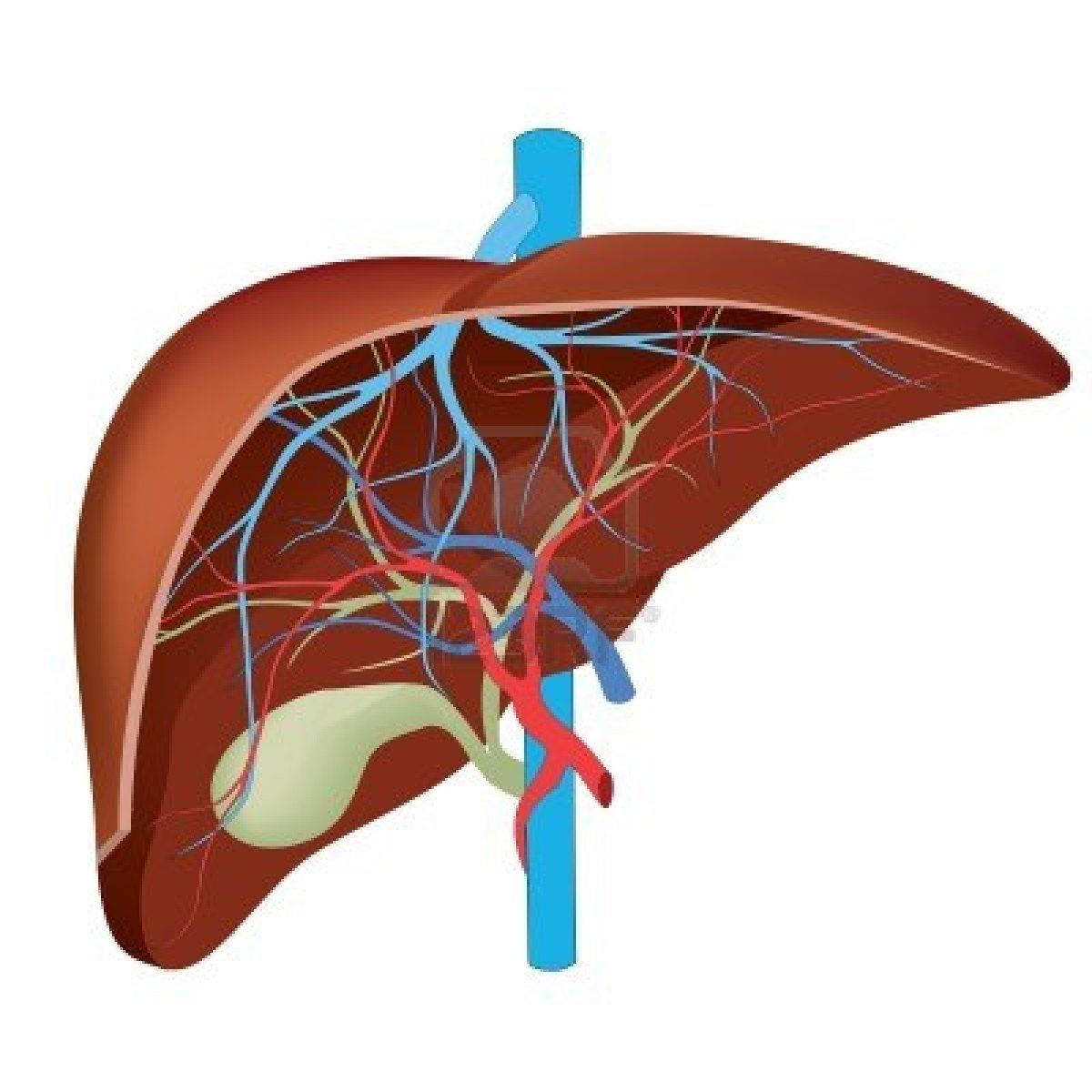 human liver diagram 1999 honda accord wiring hepatic images for assignment