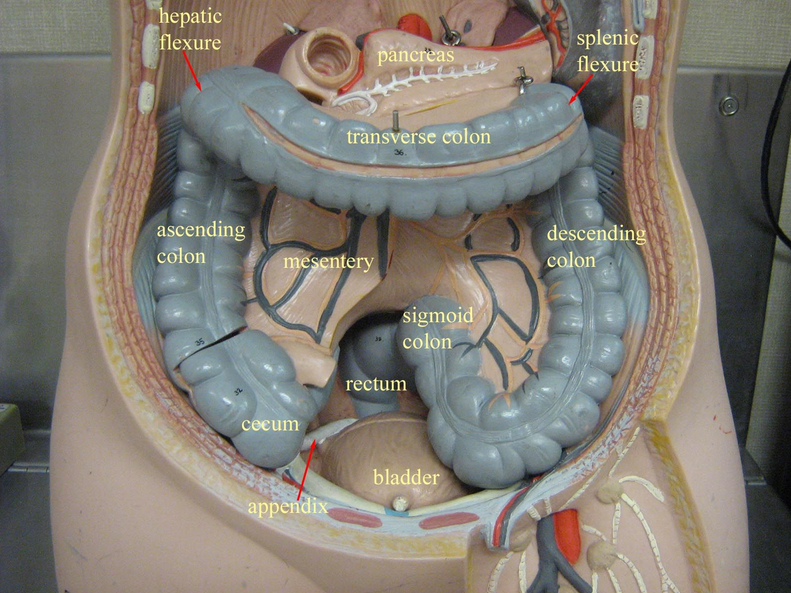 large intestine anatomy diagram labeled 2002 ford windstar serpentine belt abdominal cavity no liver stomach small
