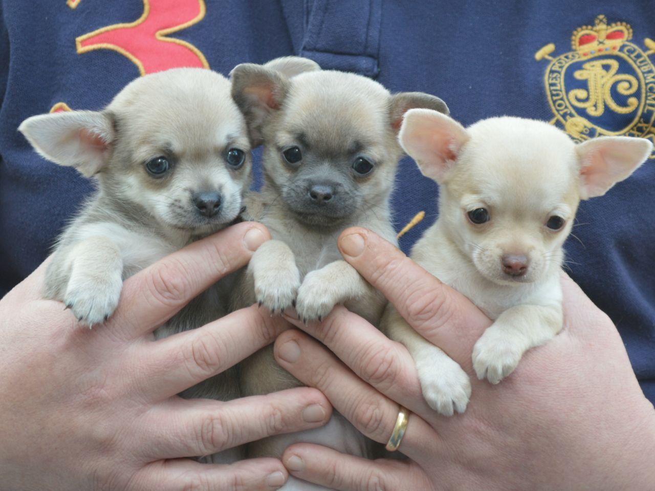 Cheap Teacup Chihuahua Puppies Sale
