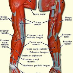 Hand Muscles Diagram Viper Alarm Wire Related To Human Arm Anatomy A Andp Pinterest