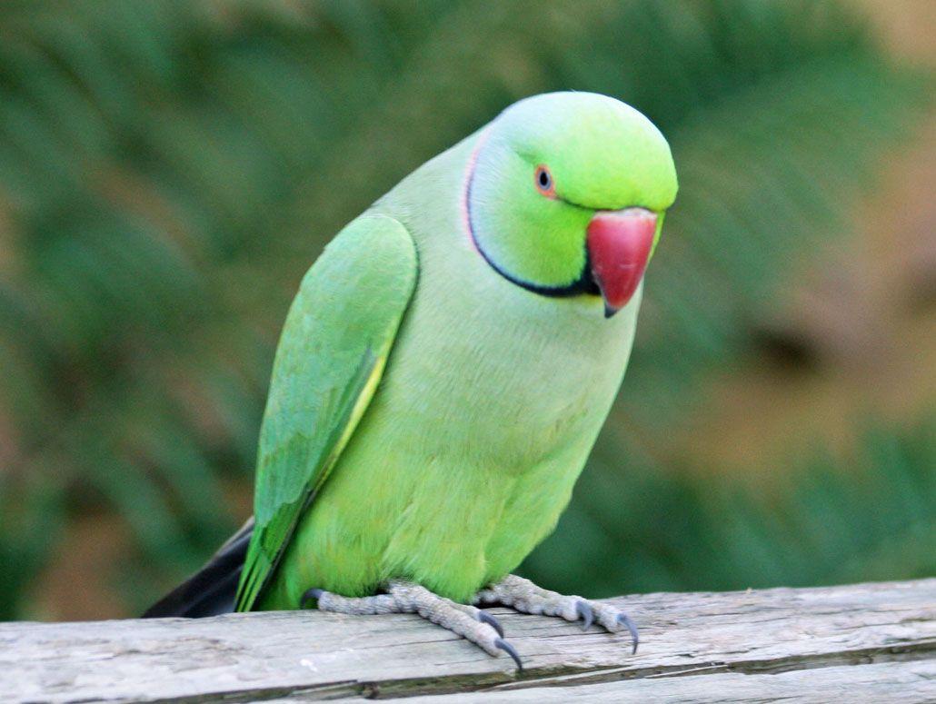 indian ringneck parrots - google search | indian ringneck parrots
