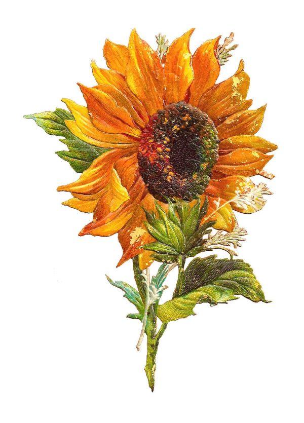 antique free flower graphic
