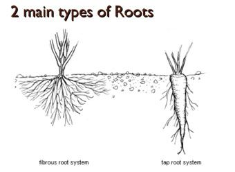 2 main types of roots. Science lessons and worksheets for