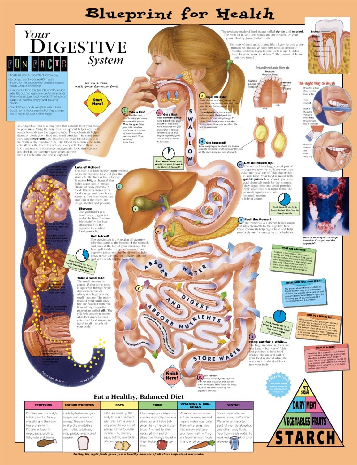 The Digestive System Kids Health 1 154 1 500 Pixels