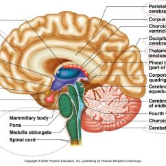 Blank Ear Diagram To Label System Boiler Wiring Back Spinal Cord Diagrams Free For You Parts Of The Brain Google Search Occupational Therapy Eye