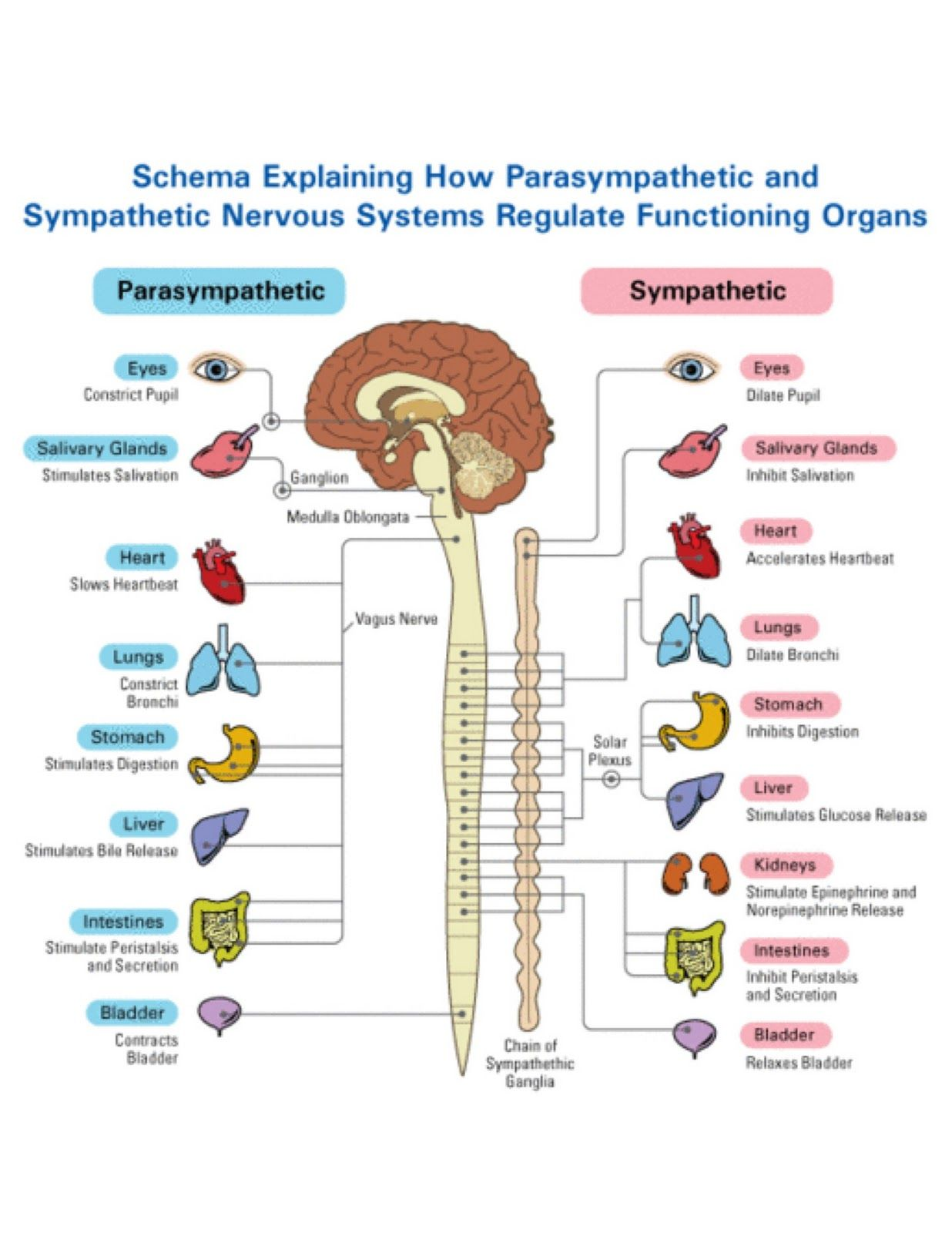sympathetic and parasympathetic diagram 2003 gmc sierra 2500hd radio wiring restorative yoga stimulation via