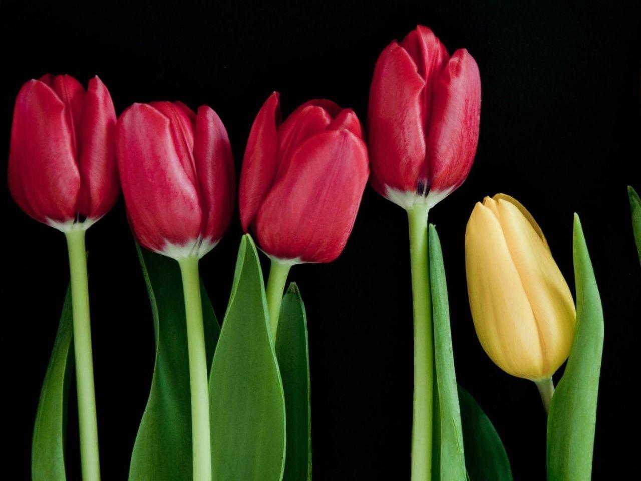 bunga gambar wallpaper tulip batang vektor hitam foto
