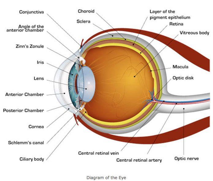 Human Eye Diagram Teach Your Children Well Pinterest Human
