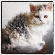 curly haired cat animals