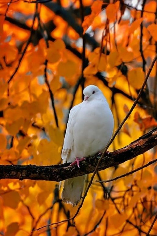 Fall Bird Feeder Wallpaper Fall Dove From Simple Pleasures Fall In The Country