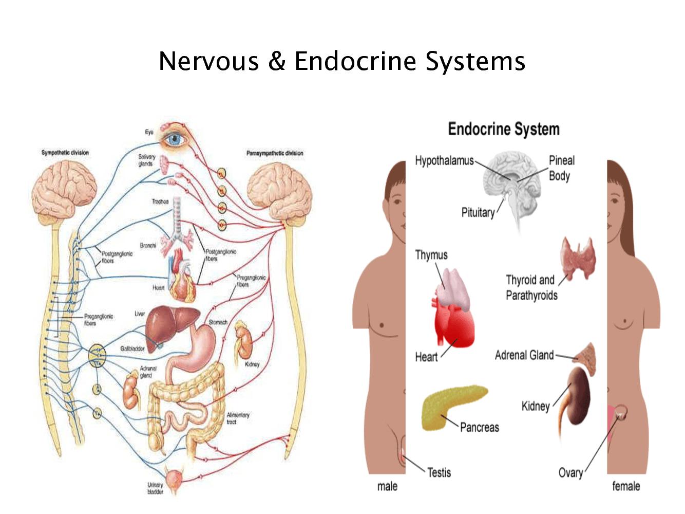 Endocrine System Digestive System