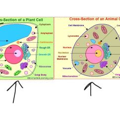 Simple Animal And Plant Cell Diagram Golf Cart 36 Volt Wiring Labeled Yahoo Image Search Results Biology