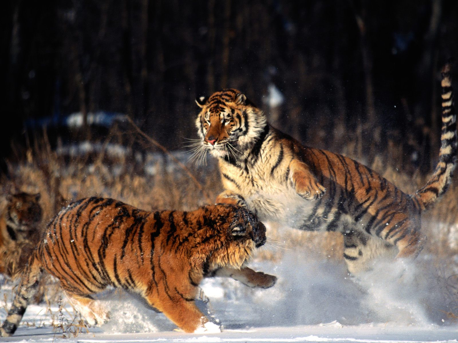 140 best beast of beauty images on pinterest | tiger tiger, bengal