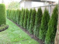 cedar hedge fence | Landscaping | Pinterest | Fences ...