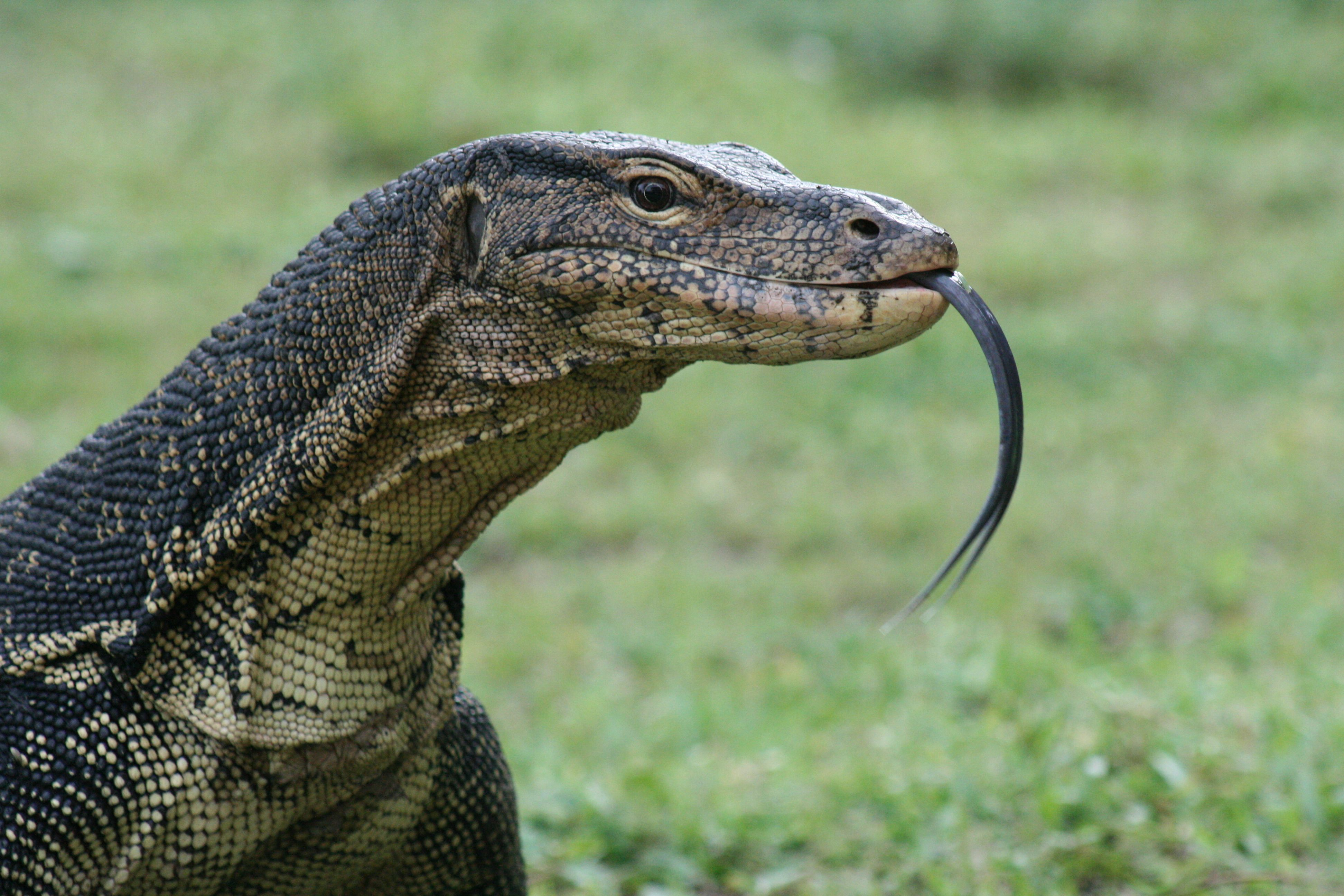 This monster Malaysian Water Monitor Lizard was about to have dinner at The Bubu Resort Pulau