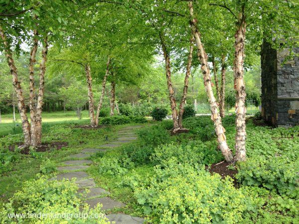 'heritage' river birch distinctive