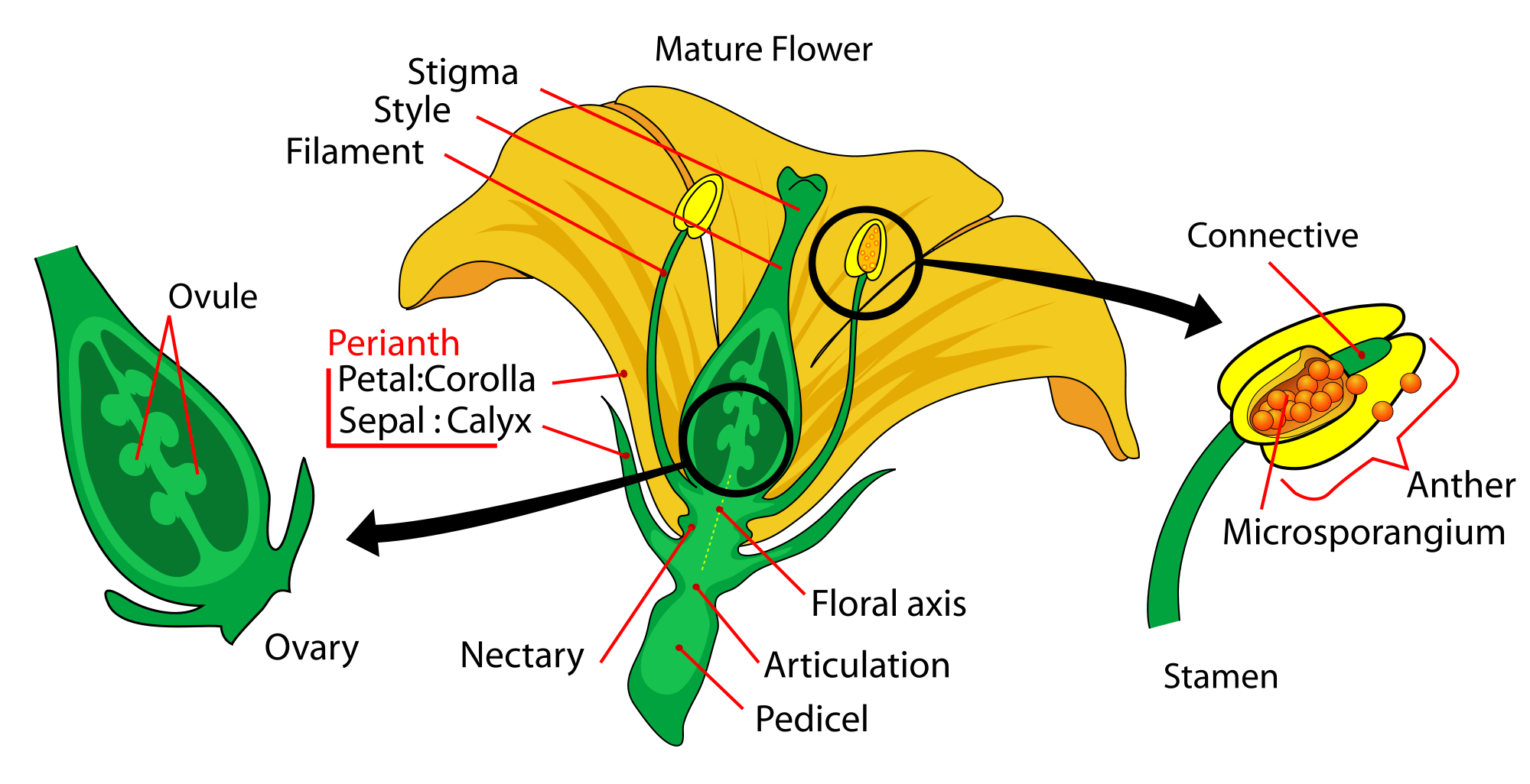 parts of a flower diagram vista 20p wiring plant morphology google search