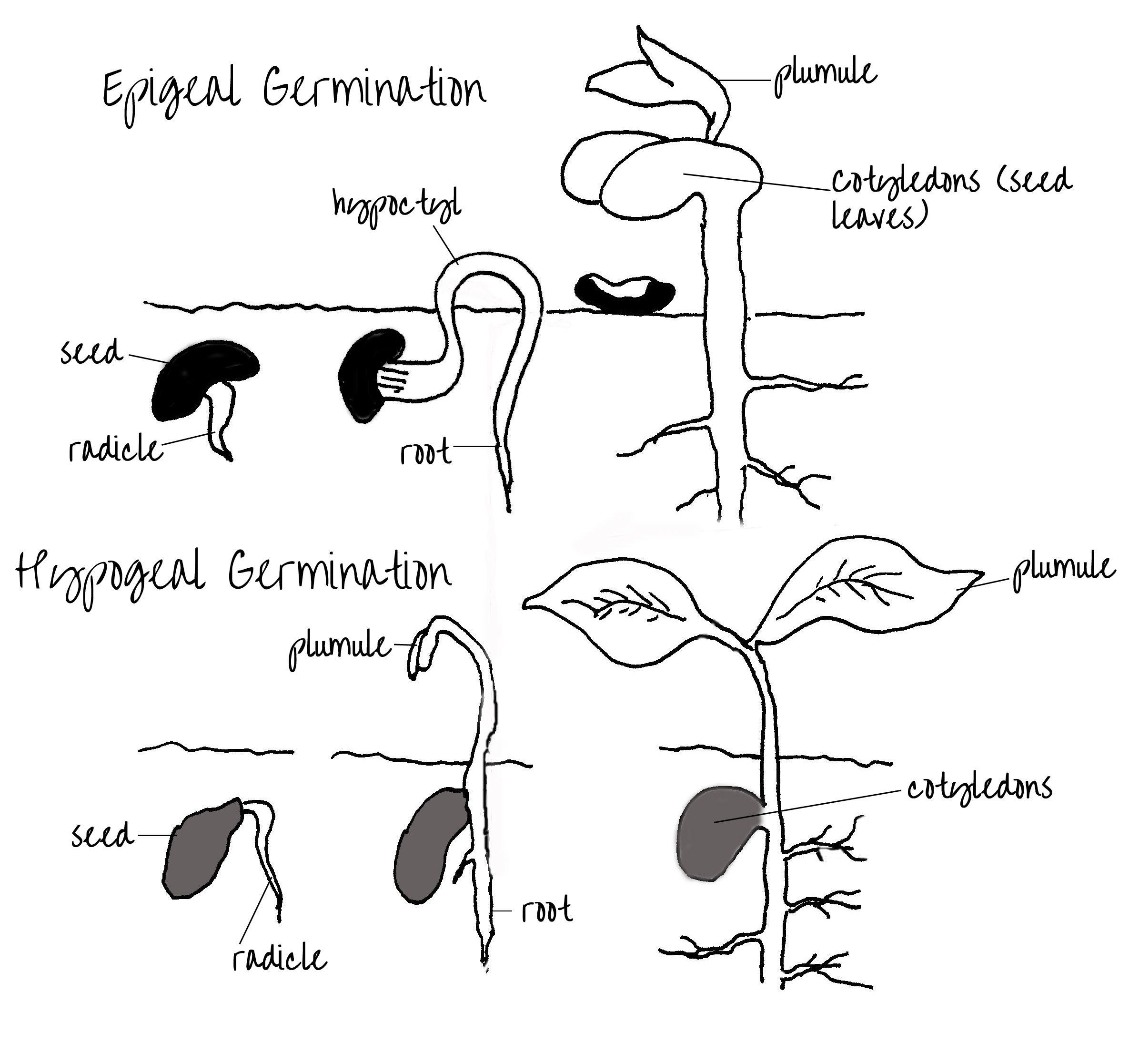 Epigeal Amp Hypogeal Germination Of Seeds