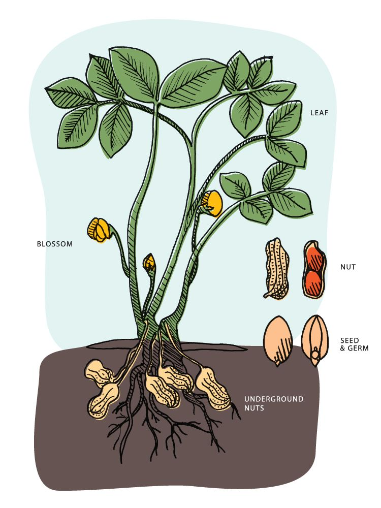 How peanuts grow from the national peanut board at