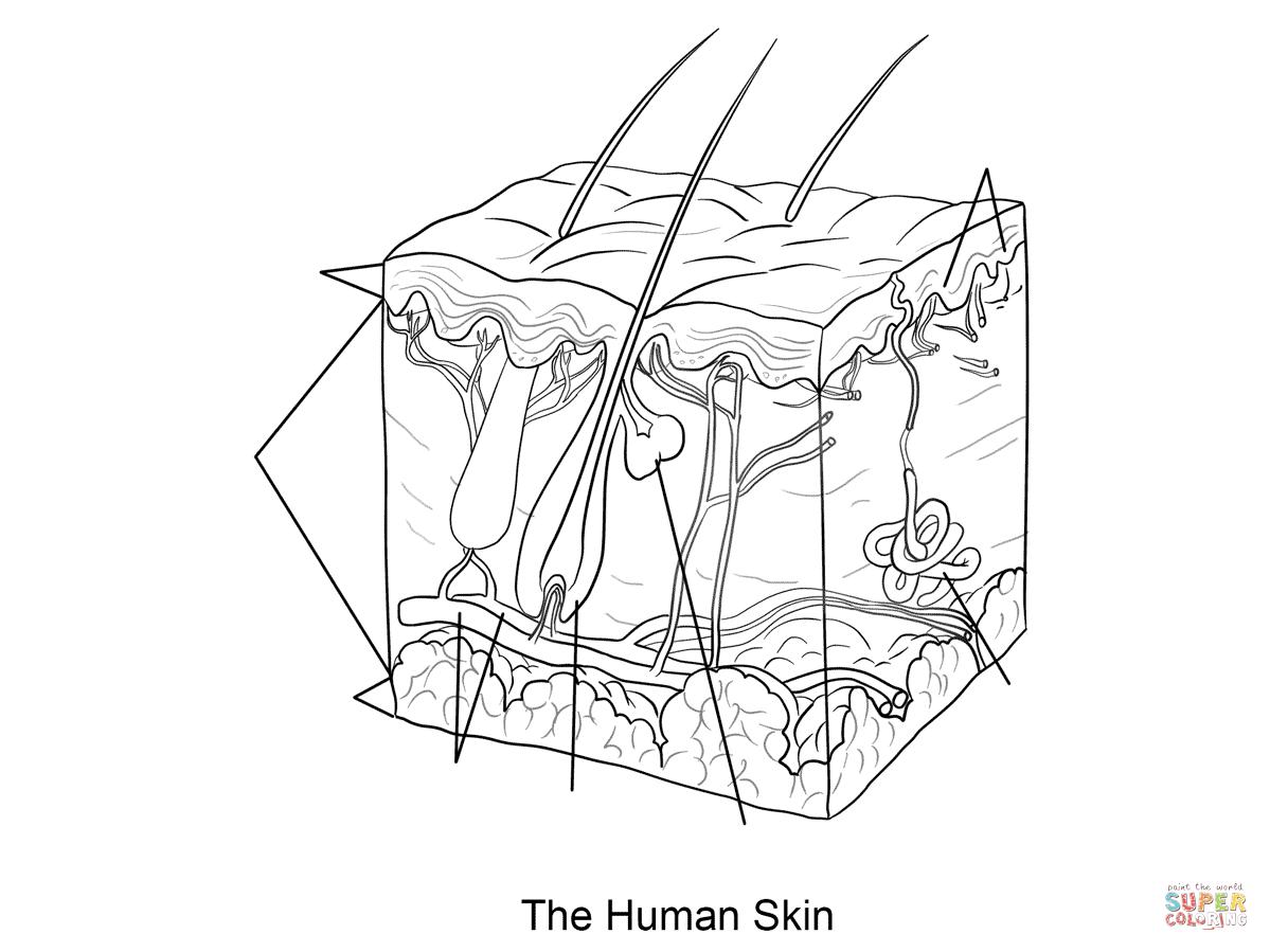 Human Skin Coloring Page Dermis Subcutaneous Tissue Epidermis
