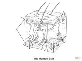 Human skin coloring page Dermis, Subcutaneous tissue ...