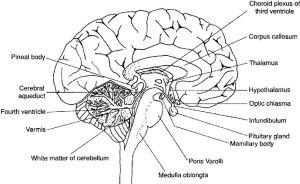 Labeled Fetal Pig Brain Sheep brain diagram | Scientific