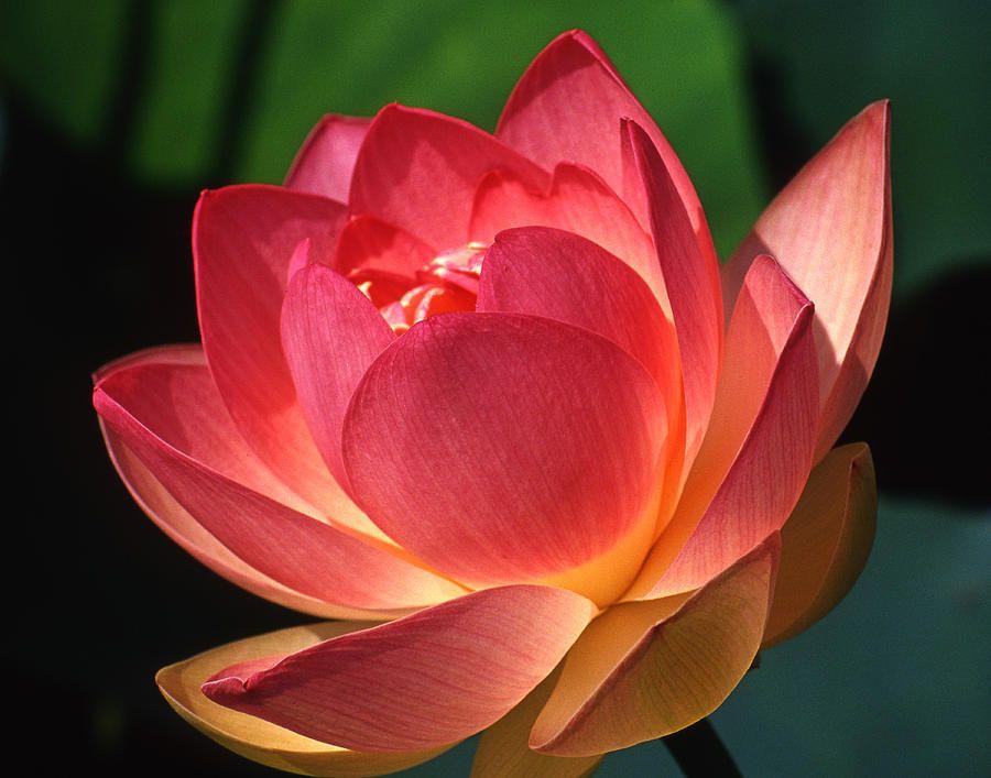 Where Buy Lotus Plants