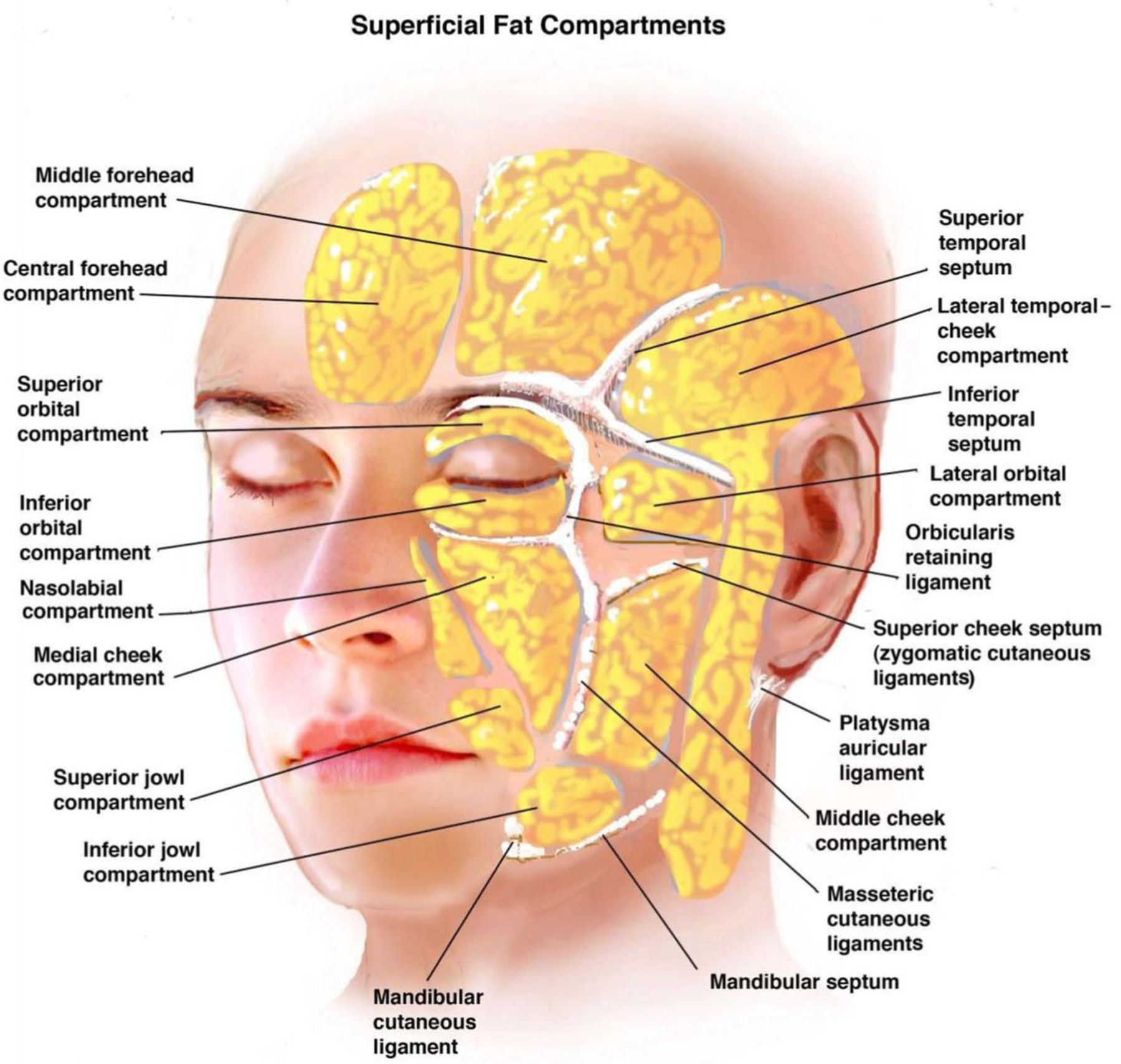 massage technique diagram aeon quad wiring ligaments of the face facial anatomy pinterest