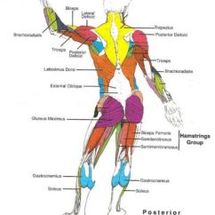 Human Muscles Diagram Labeled Front And Back Jack The Beanstalk Plot Muscle Blank Drawing Google Search Whole Body