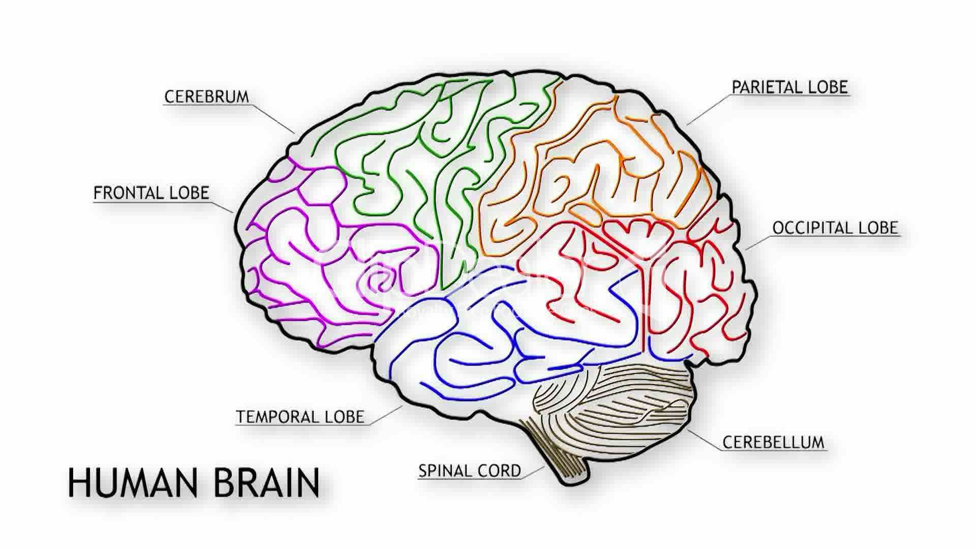 the human brain in photographs and diagrams 3 way switch wire diagram simple showing lobes of
