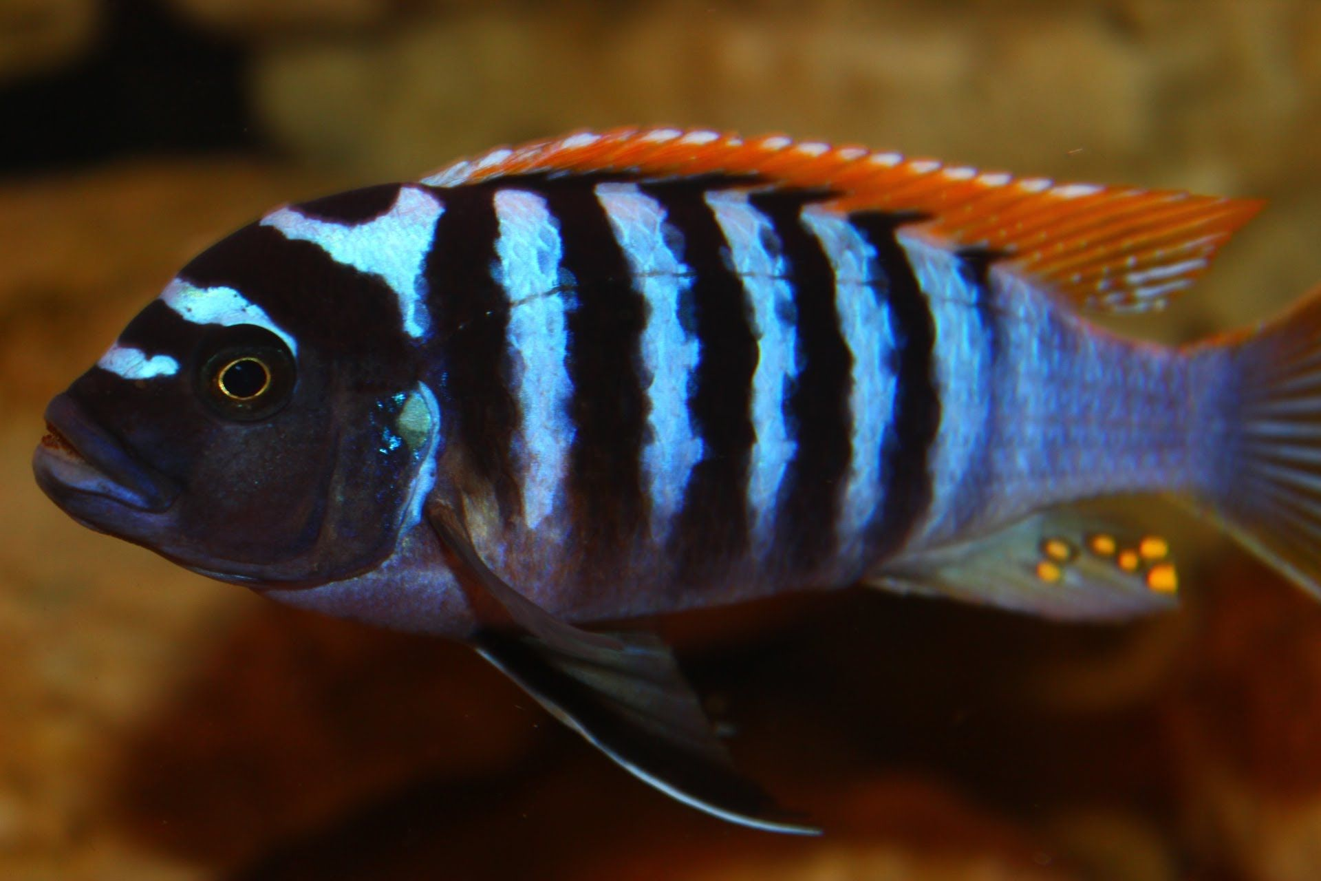 Best Mbuna Cichlids  Maxresdefaultjpg  Tropicals
