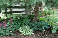 Hostas under pine tree. | Garden Landscape | Pinterest ...