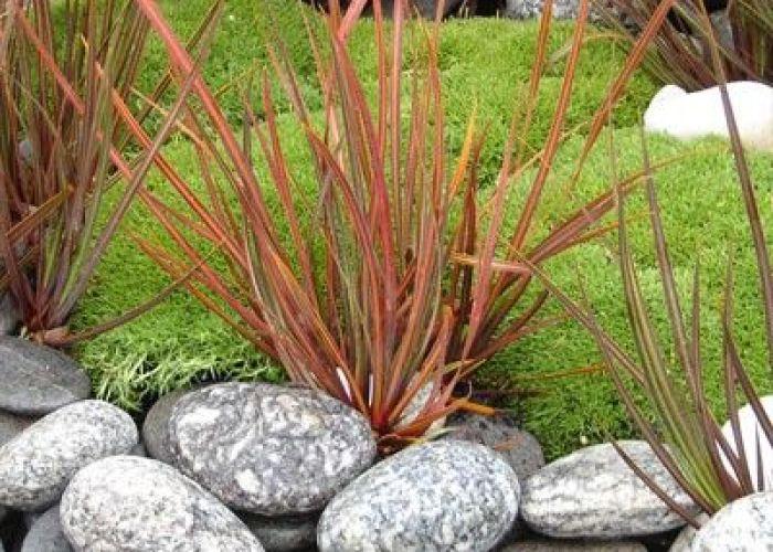 Scleranthus biflorus  cm   cm full sun requires good drainage ground cover plantsdry gardenplant also