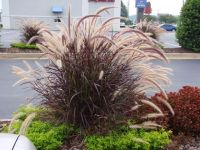 Purple Fountain Grass | Don't sing the purple fountain ...
