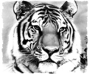 tiger drawing pencil drawings realistic debbie engel easy coroflot animals pen draw tigers deviantart animaux medium 7th uploaded march which