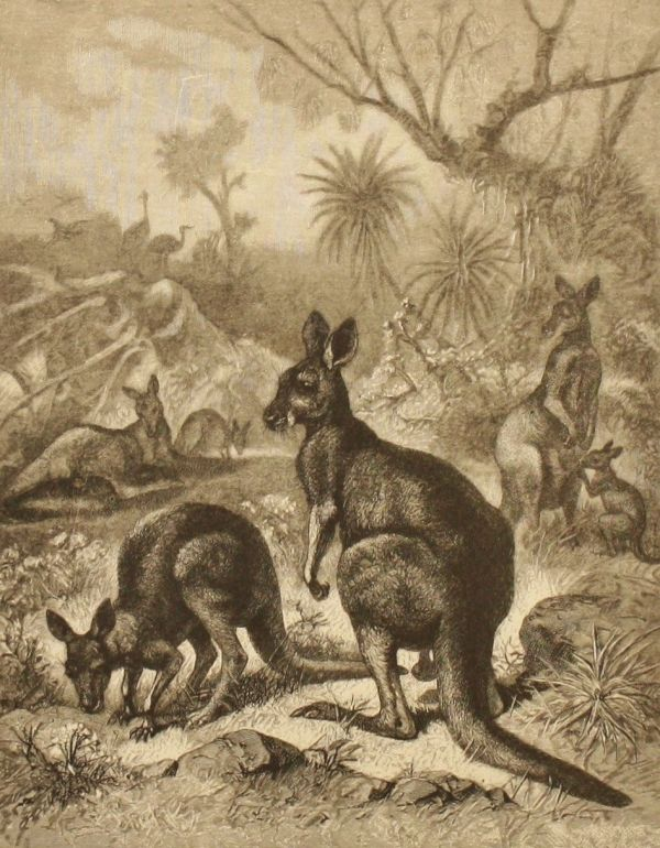 Vintage Kangaroo Print Antique Baby Animal Art 1880s