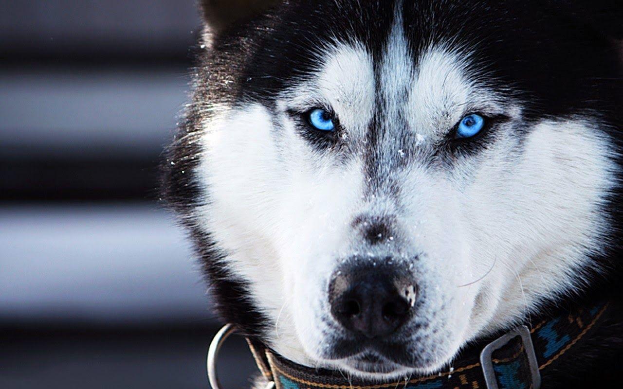 the different types of siberian huskies | siberian huskies, dog