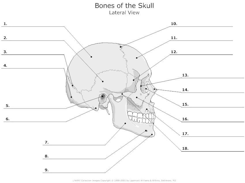 facial bones diagram not labeled honeywell rth221b wiring unlabeled skeleton print out | human skull pinterest anatomy ...
