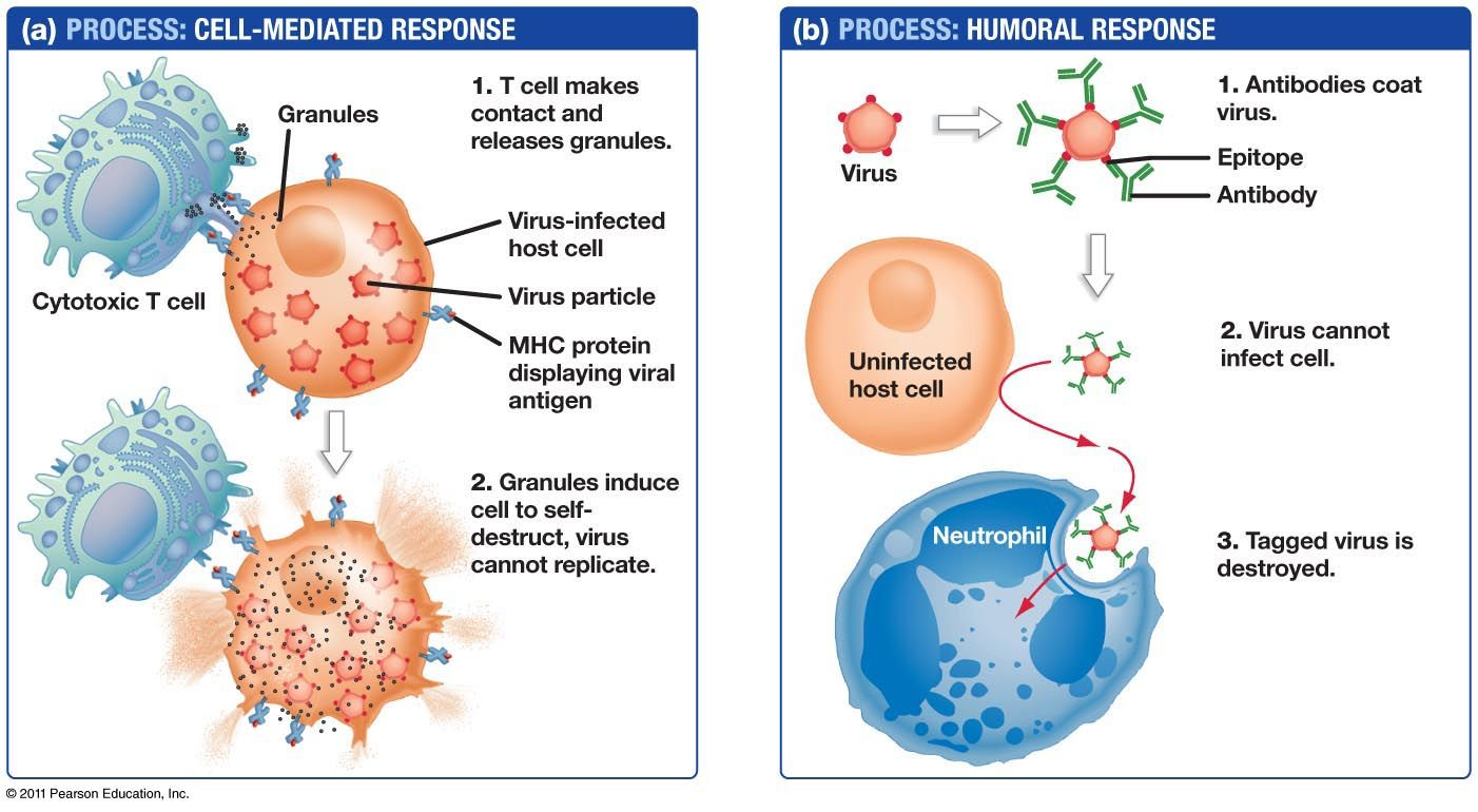 Antibody Mediated Immune Response