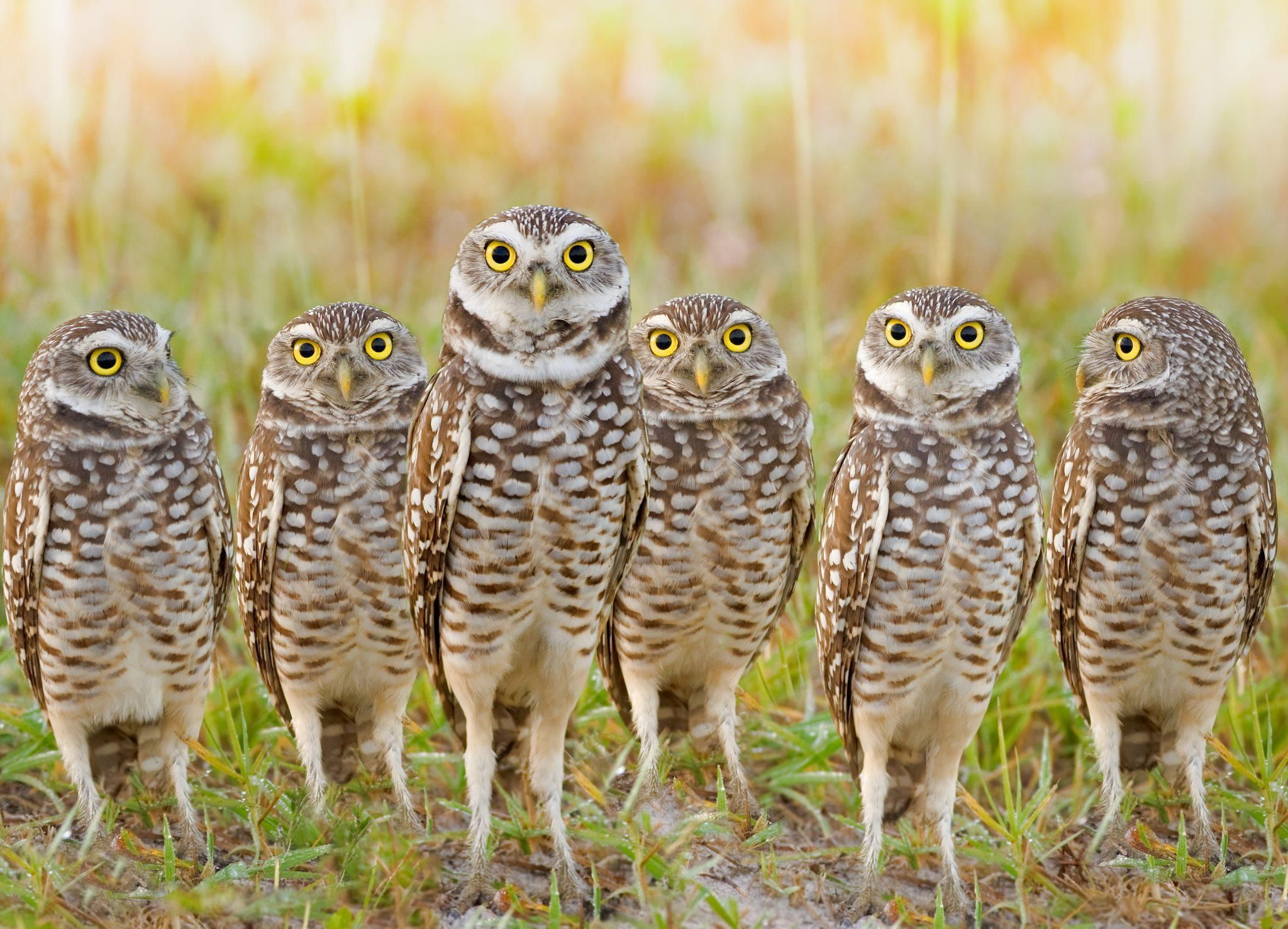 Delightful Group Of Burrowing Owls