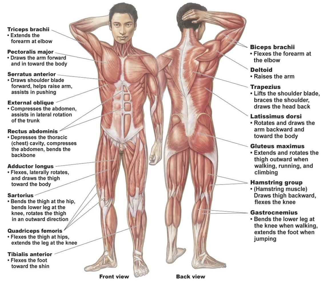major muscle diagram to label 4ch amp wiring all the muscles in system on this link muscular