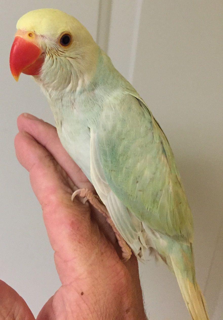 indian ringneck parakeet www.thebestbird | birds for sale