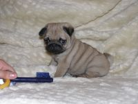 Pics For > Pugs Puppies In Costumes | Boston | Pinterest ...