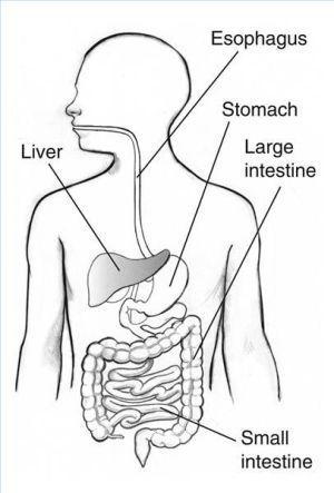 Digestive System Blank Diagram for Kids   6th grade